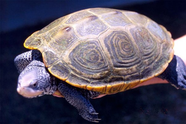 Adult female Diamondback Terrapin. (Photo by NOAA)