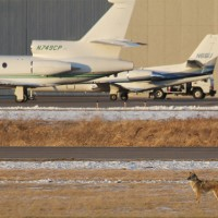 A furry planespotter roams Anoka County-Blaine Airport (ANE) near Minneapolis