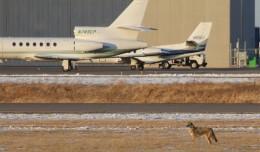 A furry planespotter roams Anoka County-Blaine Airport (ANE) near Minneapolis