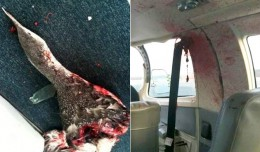 A decapitated bird and the mess it left in the cabin of a Cape Air Cessna 402C. (Photos by Barnstable Municipal Airport, Patrick O'Leary via Cape Cod Times)