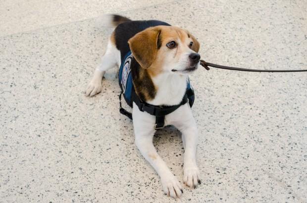 Meet Speedy, a member of the MIA Beagle Brigade