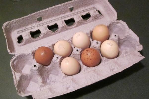 Anyone want a Falcon omelette? (Photo by Gunthercx via wikimedia, CC-BY-SA)